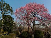 百草園梅祭090207-15
