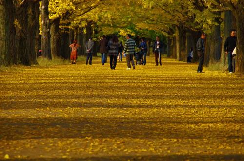 昭和記念公園イチョウ並木201211-2