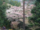 高尾山0420登山道脇の山桜