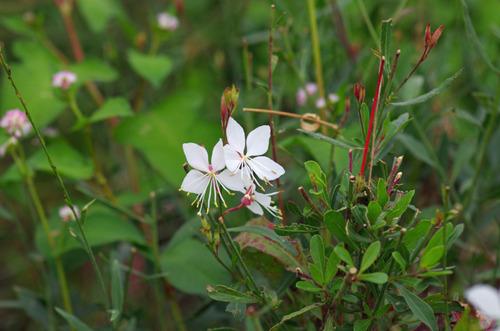 散歩道の花201210-14ガウラ