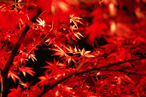 百草園ライトアップ2010-8