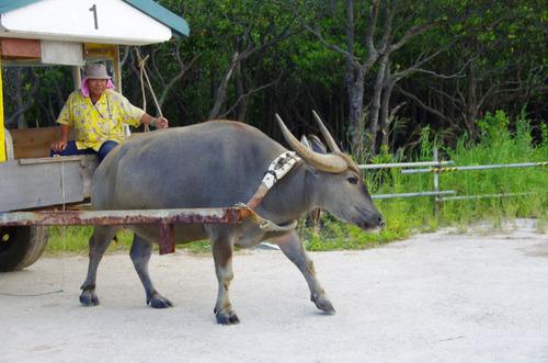 沖縄由布島2011-14