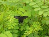 オナガアゲハ200807-1