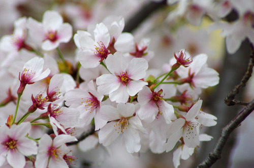 4月の花201104-5