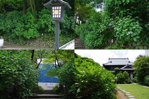 高幡不動尊あじさいの様子20100605-2