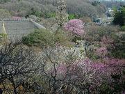 百草園梅祭090207-7