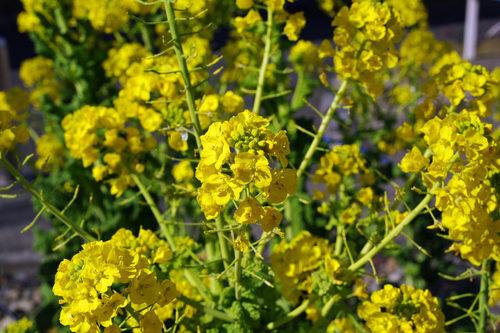 菜の花2010-2