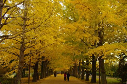 昭和記念公園イチョウ並木201211-5