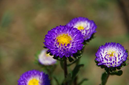 散歩道の花201107-7アスター