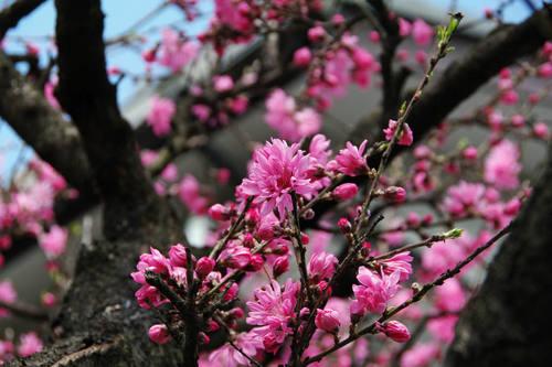 散歩道の桃色201004-7