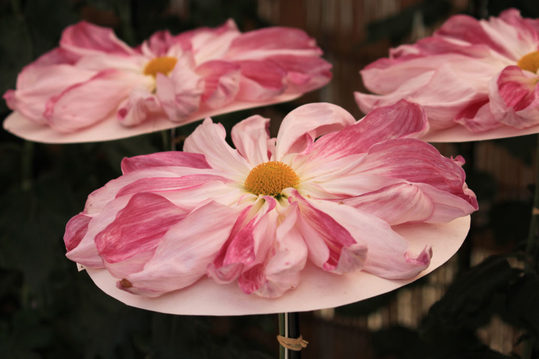 高幡不動尊菊祭り200910-9