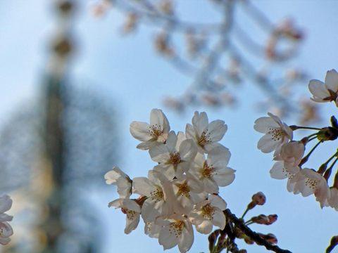 高幡不動尊の桜090329-5