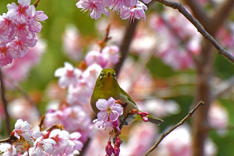 河津桜にメジロ