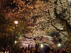 千鳥ヶ淵夜桜-8
