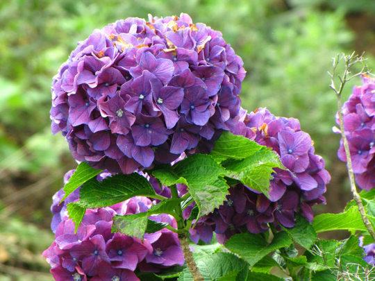 輝く西洋紫陽花2009-4