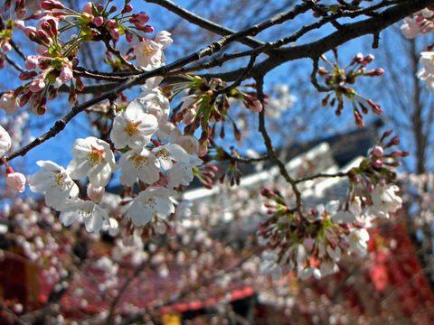 高幡不動尊の桜090329-2