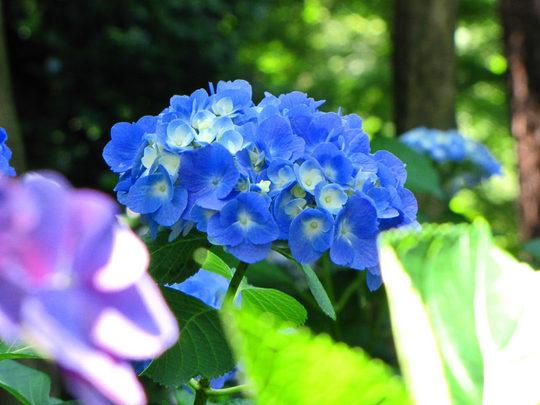 輝く西洋紫陽花2009-1