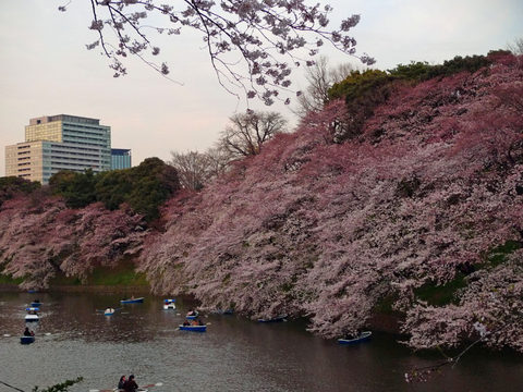 千鳥ヶ淵夜桜-3