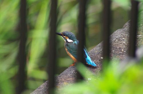 梅雨時の鳥たち2011-12