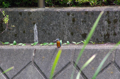 散歩道の鳥たち2013-9