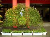 菊祭り準備中-8