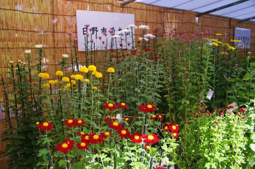 高幡不動尊菊まつり2012-2