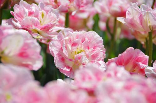 昭和記念公園20120428-15
