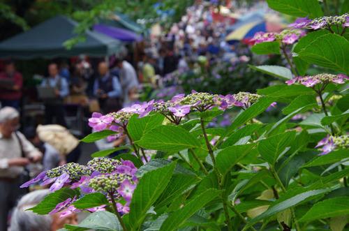 高幡不動尊あじさい祭り201106-5
