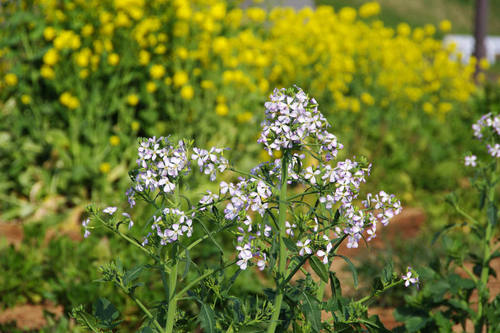 畑の花201004-4