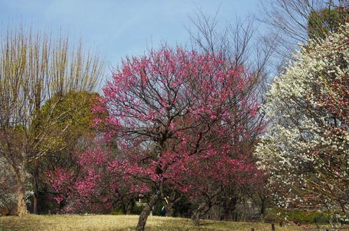 昭和記念公園201303-4