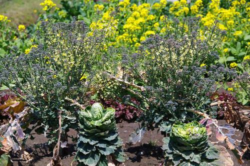 畑の花201004-7