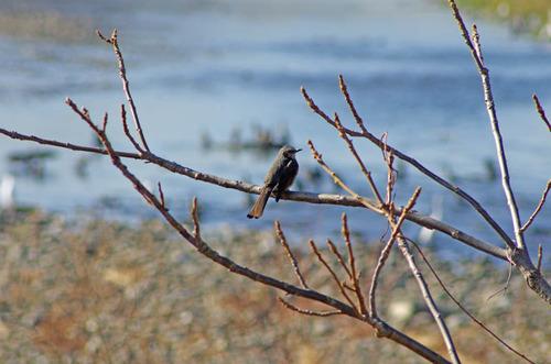 散歩道の野鳥201301-8