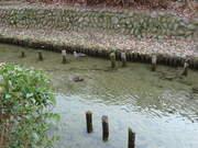 冬の向島用水路-3