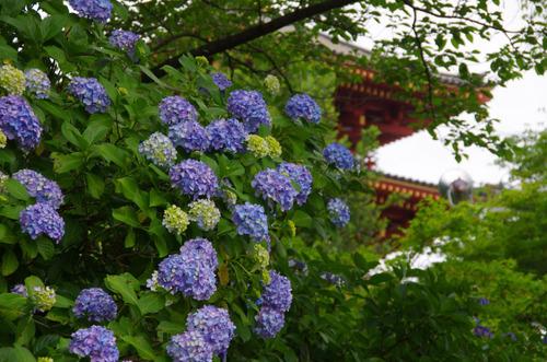 高幡不動あじさい祭り201106-5
