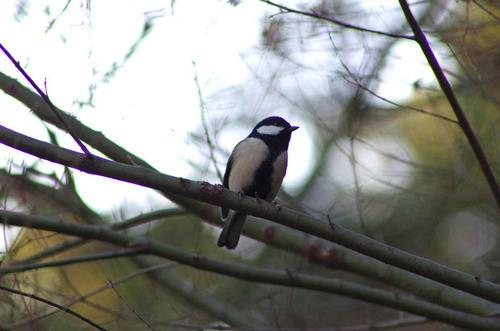 散歩道の野鳥201301-9