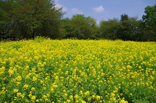 昭和記念公園20120428-5
