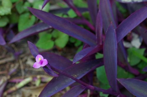 散歩道の花201210-12紫御殿