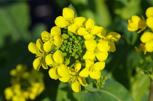 菜の花201103-9