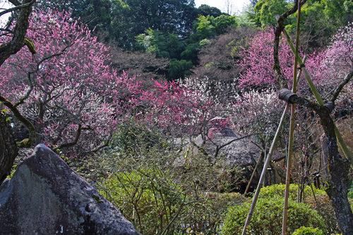 百草園梅まつり201003-1