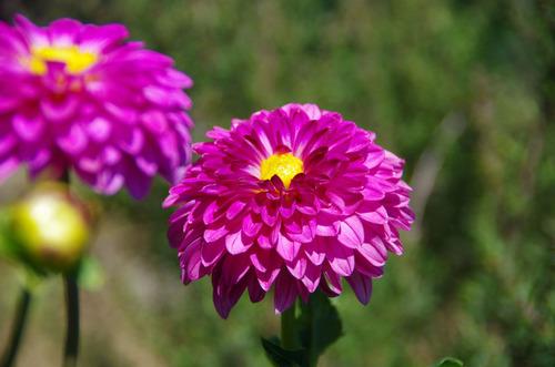 散歩道の花201107-8ダリア