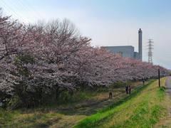 多摩川花見2009-7