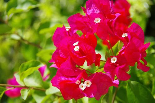 由布島の花201108-3