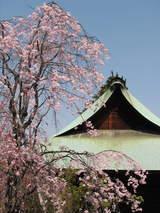 高幡不動の垂れ桜-3