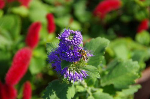 散歩道の花201210-2段菊