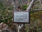 百草園ロウバイ-1