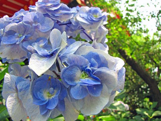輝く西洋紫陽花2009-6