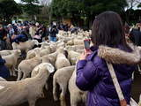 マザー牧場羊-2