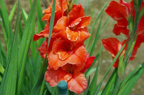 夏の花201107-4