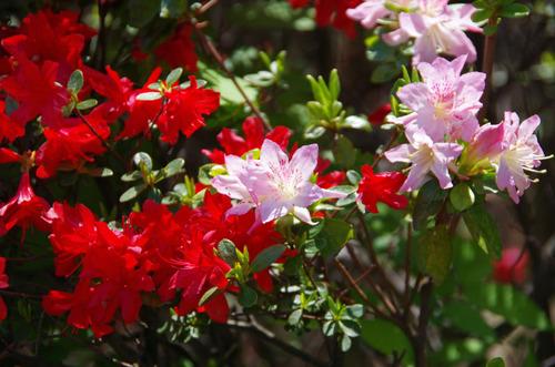 4月の花201104-8