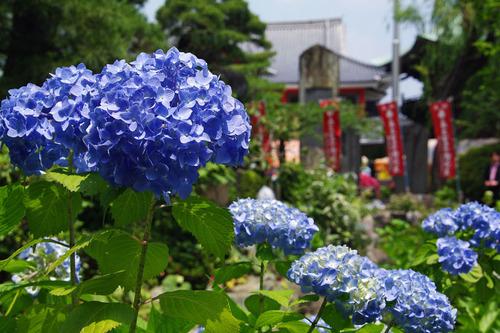 高幡不動尊あじさい2010-7